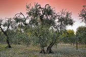 Olive-trees at sunset. — Stock Photo