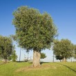 Olive Trees Hill. — Stock Photo #3182444