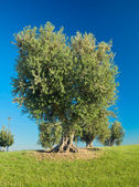 Olivenbäume hill. — Stockfoto