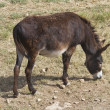 Stock Photo: Donkey grazing.