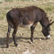 Donkey grazing. - Stock Photo