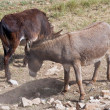 Donkeys. - Stock Photo