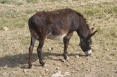 Donkey grazing. — Stock Photo