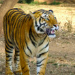 Stock Photo: Panting Tiger