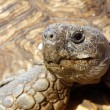 Tortoise Head — Stock Photo