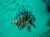Lion Fish (Devil Fire Fish) — Stock Photo
