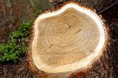 Kıyılmış ağaç kütüğü — Stok fotoğraf
