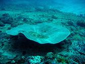 Tablo mercan — Stok fotoğraf