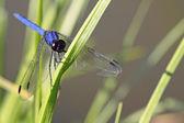 Libélula azul brillante — Foto de Stock