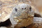 Tortoise Head — Stock Photo
