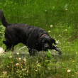 Black labrador — Stock Photo