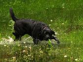 черный лабрадор — Стоковое фото