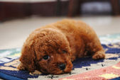Red Toy poodle — Stock Photo