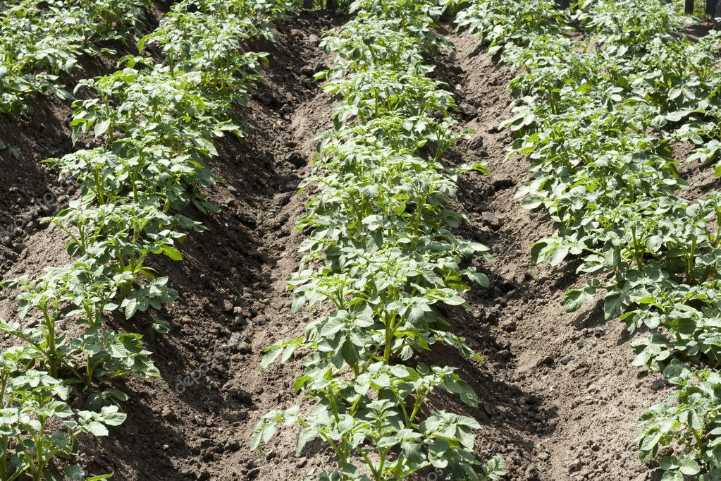 Rural potato field in summer — Stock Photo #3414157