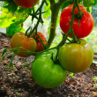 Stock Photo: 3 coloured tomatos