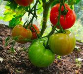 3 coloured tomatos — Stock Photo
