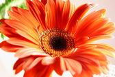 Oranžová gerbera — Stock fotografie