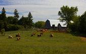 Ontario Cattle Farm — Stock Photo