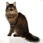 Regal Cat — Stock Photo