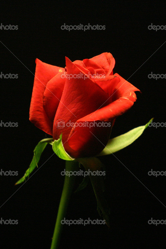 Red rose  Stock Photo #3273136