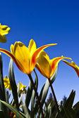 Tulpen am Himmel — Stock Photo