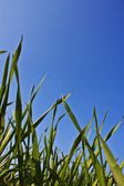 Grünes Gras vor blauem Himmel — Stock Photo