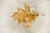 Old oak leaf — Stock Photo