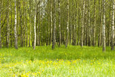 Birch grove and dandelions — Stock Photo