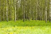 Huş ağacı koru ve karahindiba — Stok fotoğraf