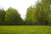 Green meadow and birch — Stock Photo