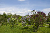 Lilac bushes in the park — Stock Photo
