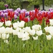 Tulips in garden — Stock Photo #3145306