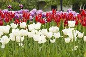 Tulips in the garden — Stock Photo