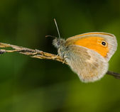Butterfly Coenonympha pamphilus — Photo