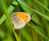 Butterfly Coenonympha pamphilus — Stock fotografie