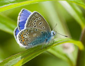 Butterfly Lycaenidae — Stock Photo