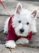 A small white dog in a red sweater — Stock Photo