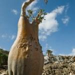 Socotra 350 - Foto de Stock