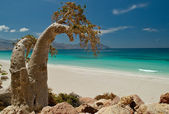 Socotra 288 — Stock Photo
