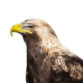 Eagle 2796 — Stock Photo