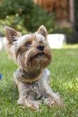 Yorksire Terrier — Stock Photo