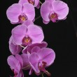 Orchide an black background — Stock Photo
