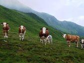 Cows on Alpine hall — Stock Photo
