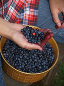 Selecting leaves with berries — Stock Photo