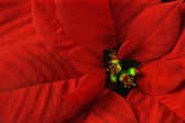 Poinsettia macro — Stock Photo