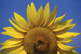 Bees on a sunflower 2 — Stock Photo