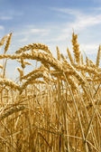 Wheat crops — Stock Photo