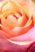 Single orange and pink rose — Stock Photo