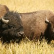 Bison Lovers - Stock Photo