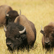 Bison Lovers Together — Stock Photo